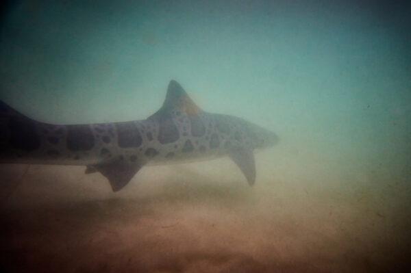 First Shark Run of 21